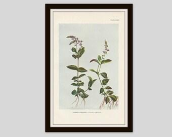 Antique Botanical Print, Cottage Decor, Wildflower, Victorian Lithograph, Original Print, Flower Print, Speedwell, Gypsyweed, Plate CXXXII