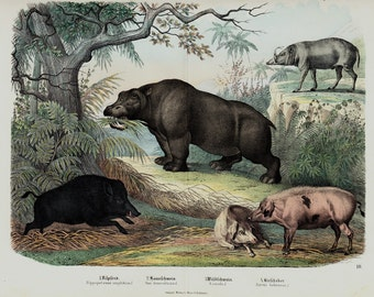 "1860 Rare Large amazing antique PIG print, Hippopotamus, wild boar, wild pig, 156 years old, size 17'' x 13"" inches"