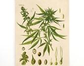 Pull Down Chart - Botanical Cannabis Sativa Diagram Print. Educational Poster Kohler's Botanical. Medicinal Plant Guide marijuana - CP247cv