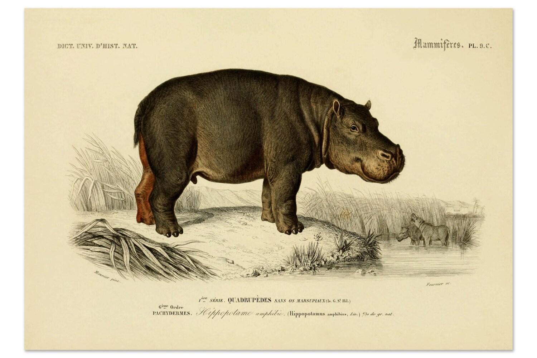 African Safari Home Decor Hippopotamus Print Hippopotamus Art Wild Animals Animal