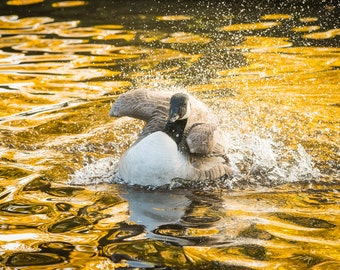 Splish Splash! British wildlife photography. Bird on the water. Autumnal Print.
