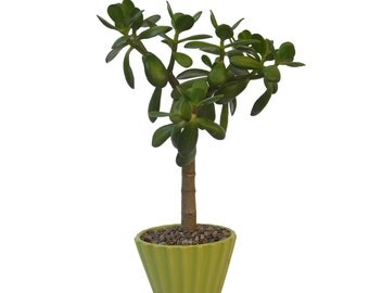 "Jade Plant 14"" to 16"" Tall Potted In a Ceramic Planter 4 Color Choices Party Favor Office Gift"