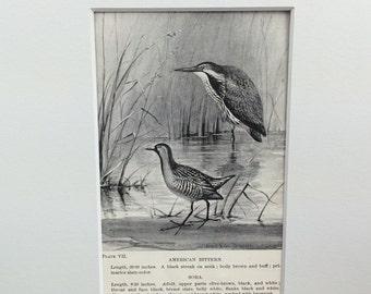 Antique Bird Print, American Bittern, Sora, Ernest Thompson Seton, Bird Lover Gift, Matted Bird Print, 8x10, Gift Under 25, Bird Prints
