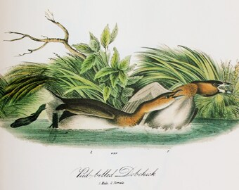 Vintage Audubon Bird Print - Pied Billed Grebe - Plate 483 - Royal Octavo Edition