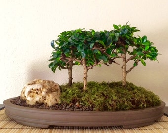 Tea Tree Grove Bonsai in a 14 inch oval Japanese pot