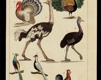 1833 Antique print of birds, Ostrich, emu, rooster, peacock, grouse, hand colored engraving