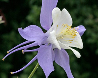 50+ Rocky Mountain Columbine Flower Seeds
