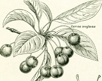 1922 Antique Print of CHERRIES, Cherry Kitchen decor illustration Larousse, Red berries, Chrerry fruit and  leaf