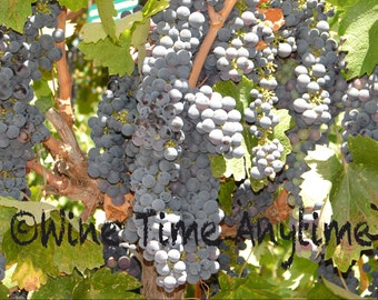Wine Grape Photography 5X7 Gloss
