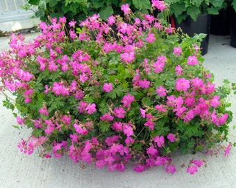 GERANIUM~CRYSTAL ROSE~Hardy Pink Cranesbill Plant Fragrant Aromatic Foliage Spring-Summer Flowers Great Leaves add Fall Color too!!!