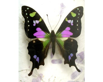 Purple swallowtail - Graphium Weiskei - Real Framed Purple Butterfly