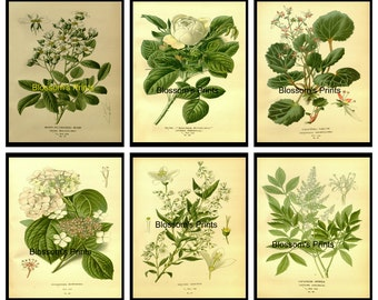 "Set of Six Flower prints from the 1800's. Plates 2,5,9,12,13,14   ( Prints are 8"" x 10"")"