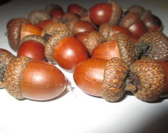30 big acorn for decoration. Natural acorns from the forest. Lacquered acorns for different decorations.