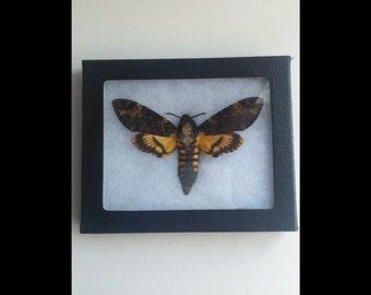 Death Moth Specimen (Acherontia Atropos)