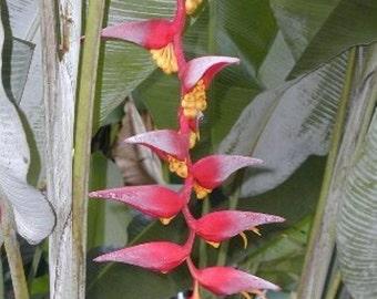 Heliconia Collinsiana live rhizome tropical exotic plant