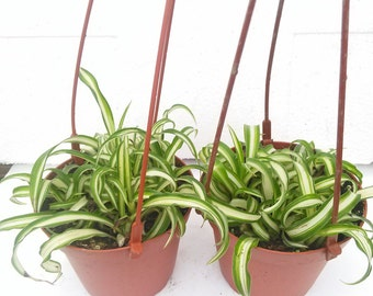 Two Bonnie Curly Spider Plant (FREE SHIPPING!)