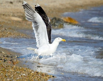 """Nature Photography- Beach Photography- Seagull nature fine art genuine photograph- """"Open Wings"""""""