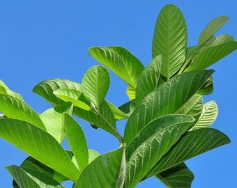 Fresh Cut Guava Leaves -ORGANIC - 10 pcs. - USA grown Tall While supplies last.