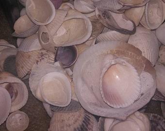 Atlantic Ocean Sea Shells
