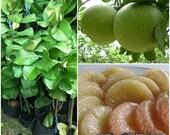 "1 Pomelo Fruit Plant / grapefruit "" Citrus maxima (Burm.) Merrill "" + Phyto Doc"