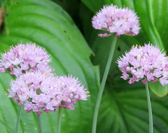 "Ornamental Onion ""Blue Eddy"" (Allium Senescens) - perennial plants - live plants - plants for sun - pink flowers - outdoor garden plants"