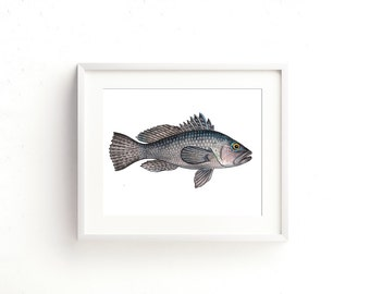 Black Sea Bass II Watercolor Fine Art Print