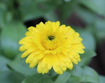 Calendula Bon Bon Yellow (100,200, 400 seeds) Pot Marigold USA homeopathic #141