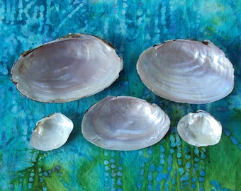 Fresh Water Mussel Shells - Nature Crafts -set of 5