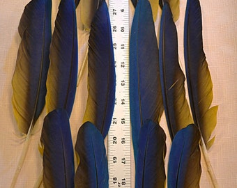 Blue & Gold Parrot Feathers