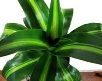 "Live Tropical Plant Dracaena ""Hawaiian Sunshine"" Only 2 Left  VERY LARGE gallon pot size"
