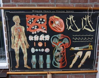 Vintage  Pull Down Chart  W8  Blood Circulation  School Chart Lithograph