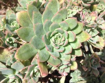Aeonium haworthii, 3 plants. Succulent rosettes, pretty tough plant