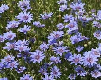 Felicia Heterophylla 25 Seeds, True Blue African Daisy Garden Plants Perennial Annual
