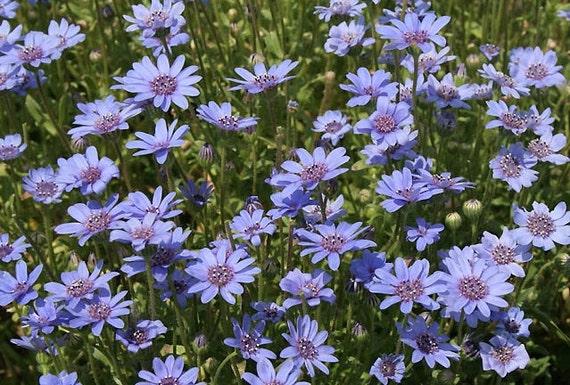Felicia Heterophylla 25 Seeds True Blue African Daisy