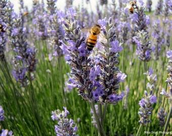 Lavender Fields | Purple Lavender | Instant Nature Download | Photography | Lavender Nature Photo | Floral Wall Art