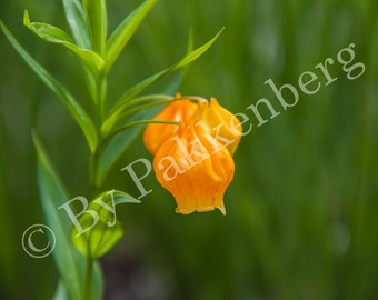 Orange Bellflower
