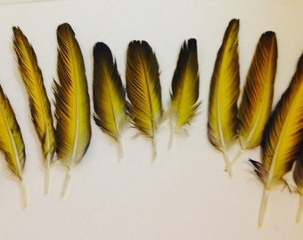 Collection of 12 Blue & Gold Macaw Tail Feathers