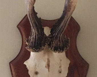 Roe deer stag antlers animal mount plaque hunting trophy taxidermy bones skull