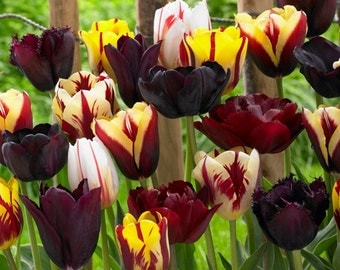 15 TULIP BULBS - Endless Spring Burgundy Mixture - Fall Shipping