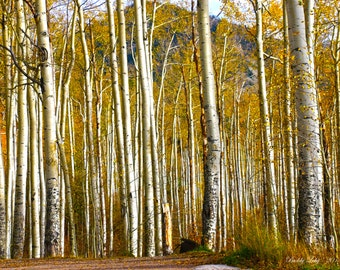 Aspen Trunks on Independence Pass