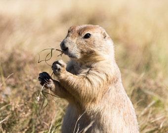 Prairie dog (digital download)