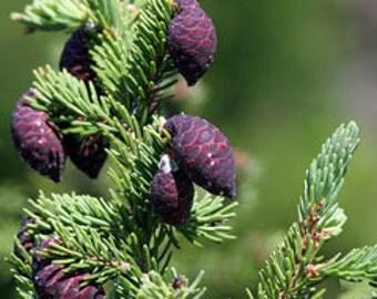 Black Spruce Essential Oil, Organic
