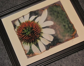Burnt Cone-flower (lg.)