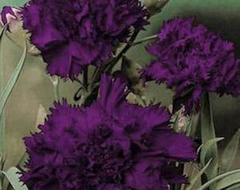 King Of Blacks Carnation Flower Seeds/Dianthus Caryophyllus Grenadin/Biennial   30+
