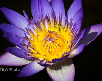 Beautiful Purple Lotus Flower found in Zilker Botanical garden.
