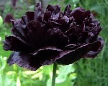 5 Rare Black Poppy Peony Flower Seed Papaver Paeoniflorum Heirloom Garden Plants Exotic Gardening