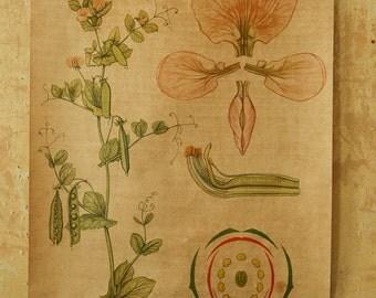 Original BOTANICAL Vintage German School Wall Chart SWEET PEA Pink Botany Beautiful Rare Volk und Wissen Ed