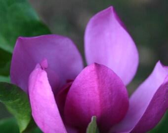 spring tulip magnolia