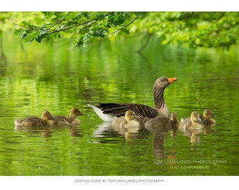 Greylag Geese on Water