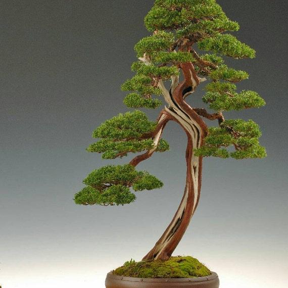 5 italian cypress bonsai seeds for Bonsai italia